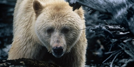 Save BC's Great Bear Rainforest from Enbridge