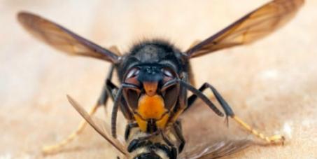 Vespa velutina apicoltura apicosco for Sito parlamento italiano