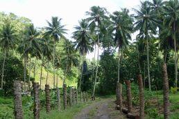 large piste au milieu des plantations