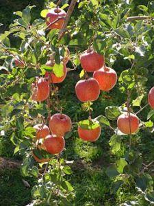 250px-Rosaceae_Malus_pumila_Malus_pumila_Var_domestica_Apples_Fuji