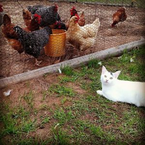 whats-funny-is-that-the-cat-and-the-yellow-chicken-are-both-thinking-the-same-thing-if-i-could-just-