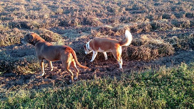 Unexpected advantage of neighbor harvesting peanuts…dog snacks! They love 'em. Although it's a challenge to pull the peanut off the plant.