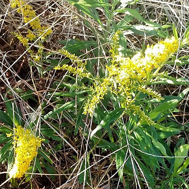 Wandering the property this beautiful fall morning, looking for pretty yellow goldenrod blooms...so I can rip 'em out by the roots!