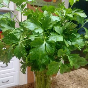 check-out-my-parsley-bouquet-making-my-kitchen-smell-wonderfully.-ready-for-bunching-and-delivery-to