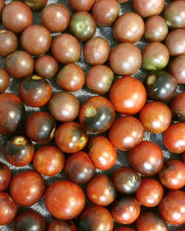 The cherry tomatoes are going gangbusters! We'll have our 4 variety Tomato Medley Pack this Saturday at Poplar Head farmers market in Dothan. Stop by and check them out! The variety pack includes: Sun Gold – Has an intense fruity flavor. Exceptionally sweet, bright tangerine-orange cherry tomatoes. Their tendency to split precludes shipping, making these an exclusively fresh-market treat. BHN 624 – (who named this?) A cross between a grape tomato and a cherry tomato. The oval shape of a grape, the juicy consistency of a cherry, and an excellent, sweet-rich flavor. Nice, deep red color. Black Cherry – Sweet and robust. The fruits are almost black in color. (They look more pink to me.) The flavor is dynamic – much like an heirloom. Indigo Cherry Drops – Deep, rosy-red with a black-purple cast that is bursting with sweet flavor. High antioxidant (anthocyanin) from the purple as blueberries  have.
