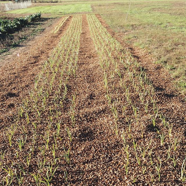The 3000 new garlic are coming along nicely, in spite of so much rain we were thinking about changing our name to Ark  Farms!