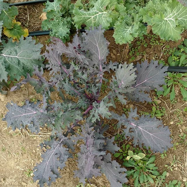 These Red Russian kale are really showing their colors with these cold nights!
