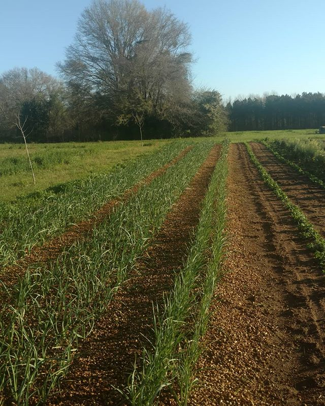Something new in South Alabama… GARLIC! Green garlic is available now. Cloves will be available early summer. Check our website for how to get yours now. Click on the link in our profile.