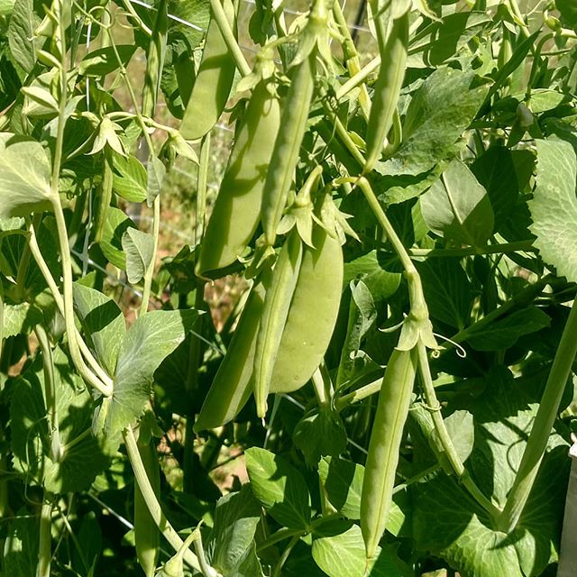Dear everyone that was asking when the sugar snap peas (edible pods!) would be available.... . Come and get 'em! 🤣 . Order online at www.MarketatDothan.com for pickup next Friday in Dothan, Enterprise or Daleville/Fort Rucker. (or if you're waaaay out in the boonies near Kinston/Opp, ask about on farm pickup) .