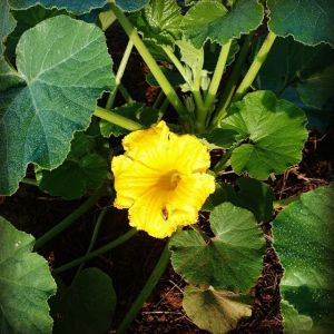 First winter squash bloom! Love watching the bees work these big blooms. Good Lord willing and the creek don't rise, we'll have acorn, butternut, delicata, gold nugget, candy roaster, sunshine, black forest and angel hair spaghetti squash. Phew! Looking forward to all those fall farmers markets!
