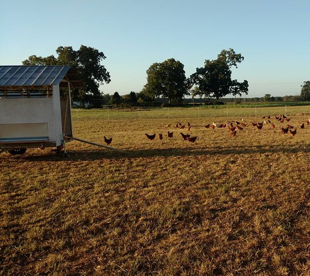 """Love seeing these guys out in the morning, doing all the chicken things. Compare our pasture raised egg layers with commercial warehouse """"never see the sun or dirt"""" layers. Our eggs are so much better tasting! You'll never go back!"""