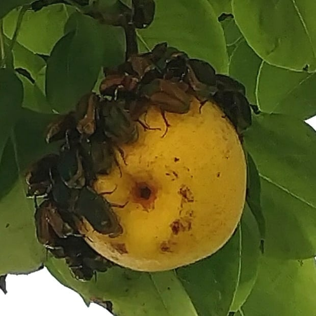 """When the Junebugs decide that this pear is the very best one on the tree 🤣. Ok, you guys can have this one. We'll use the rest to make our Avalon Farms Ginger Pear and Pear Honey jams.  These are on the pear tree that was """"the old pear tree"""" when Wendy's dad was a little boy. He's in his mid 70s now."""