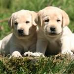 Golden Lab Puppy 1920x1080