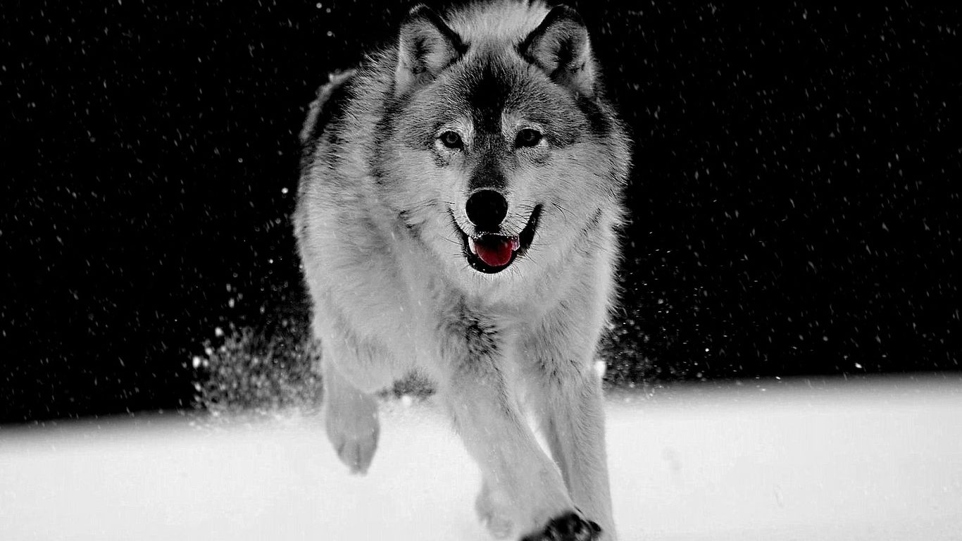 white wolves wallpapers (43 wallpapers) – adorable wallpapers