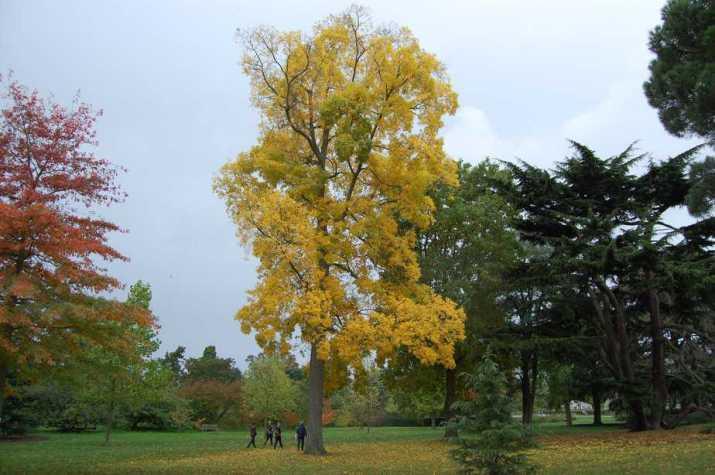 The Bitternut Hickory Tree