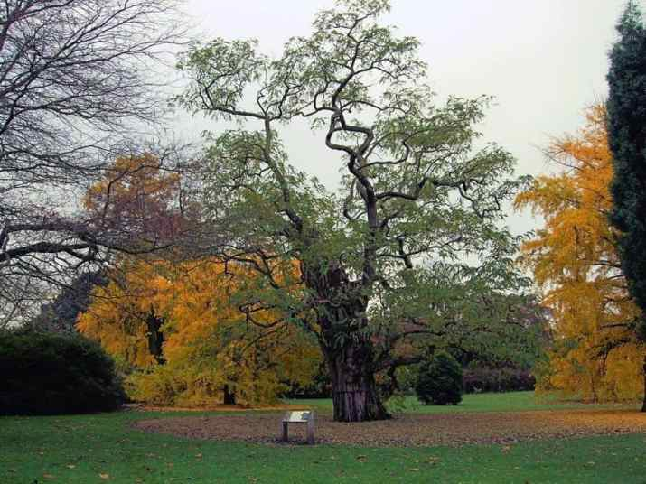 The Black Locust Tree