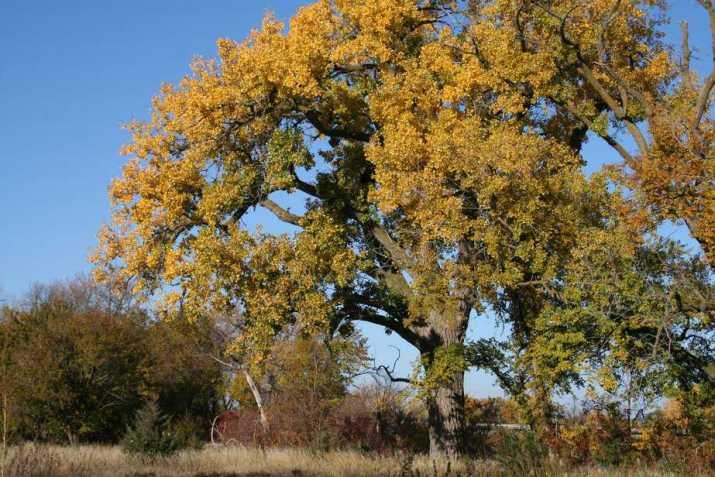 The Eastern Cottonwood Tree
