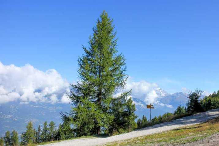 The European Larch Tree