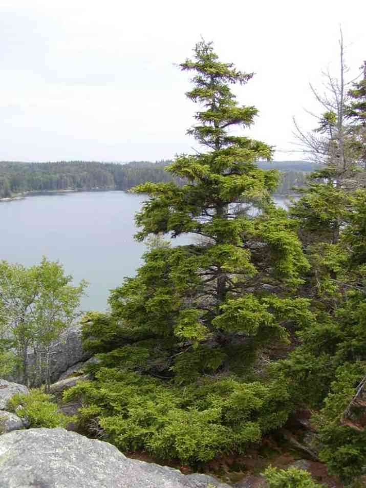 The Red Spruce Tree
