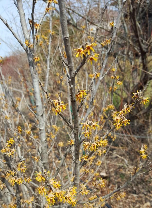 Hamamelis vernalis flowers