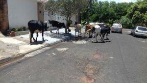 boias e vacas comendo mato