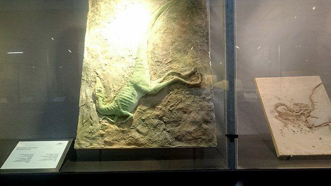 Una vitrina de la Galería de la Evolución con un fósil de dinosaurio.