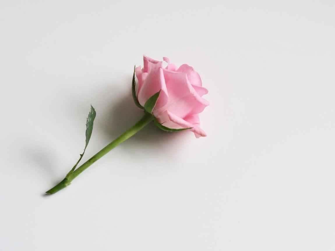 tender pink rose on white background