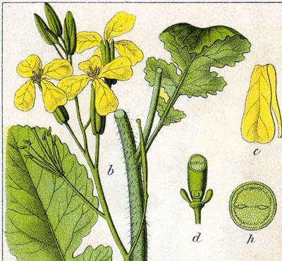 aramago (sa-ra-ma-go) sm (ár sarmaq) Planta crucífera (Raphanus raphanistrum).