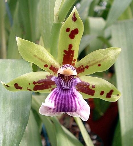 Zygopetalum, Orquídea