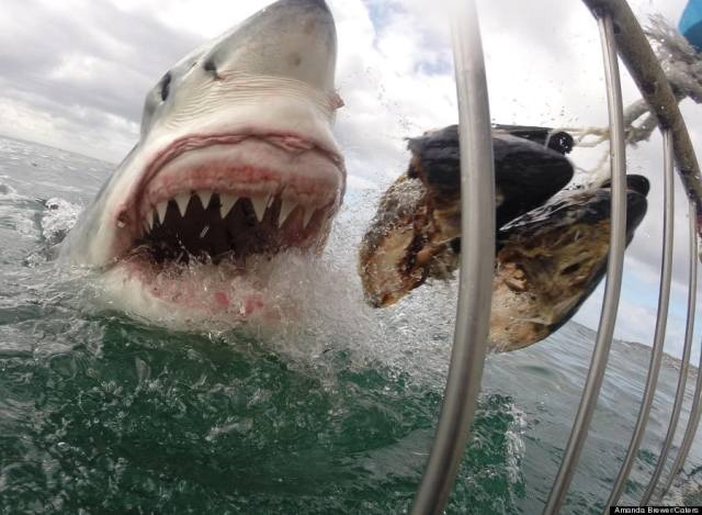 Amanda Brewer shark