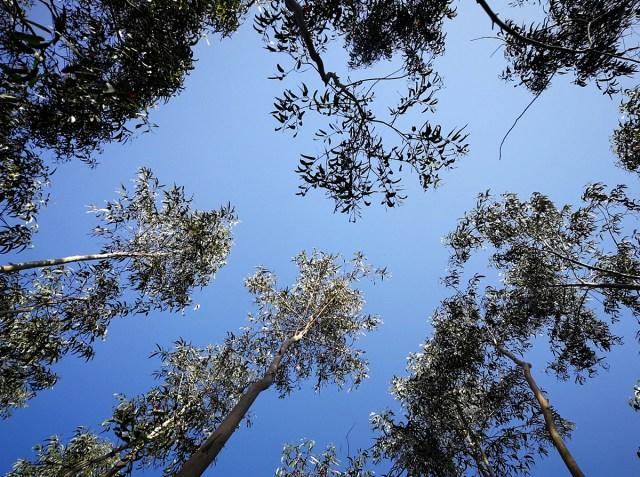 floresta_eucaliptos