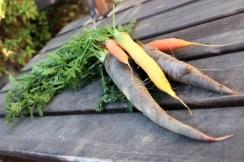 Comme les autres sortes de fruits et légumes, les carottes sont presentes en plusieurs variétés, dont certaines de couleurs exotiques, jaunes ou violettes par exemple...
