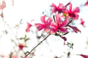 l'hibiscus en pleine lumière apparaît limite translucide