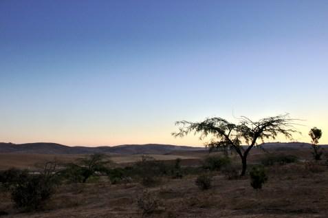 4- Ce jeune Acacia, semble signifier au désert, que ce sont les plantes qui ont emporte la Victoire. Bien qu'encore chétives en apparence, leurs racines sont profondes et bien ancrées...