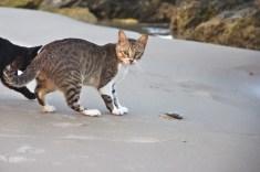 les pécheurs relachent les petites prises, parfois sur la plage pour les chats...