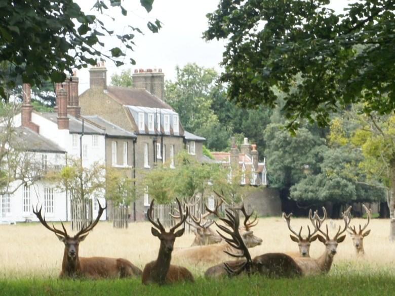 seated-deer-bushy-park1