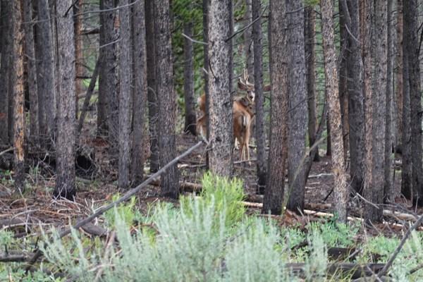 Colorado Trail - Mule Deer