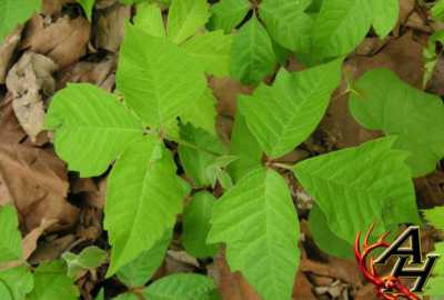 treatment for poison ivy in the field