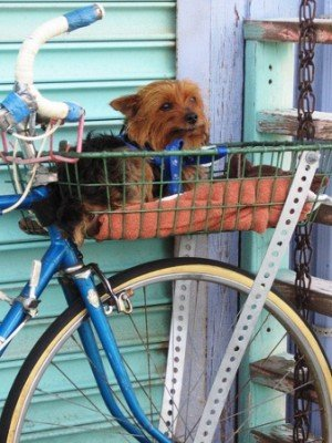 Somebody else's well trained little Yorkie waits patiently in a pet bike basket (photo from ambergris' photostream) - bike pet basket