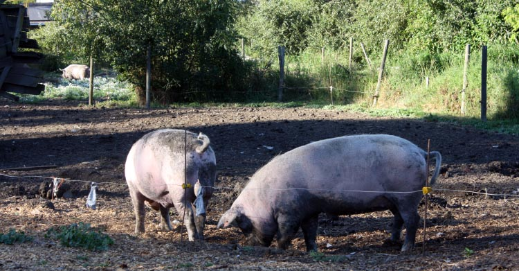Fabulously fat pigs next to the Lochside Trail, in north Saanich, just south of Sydney