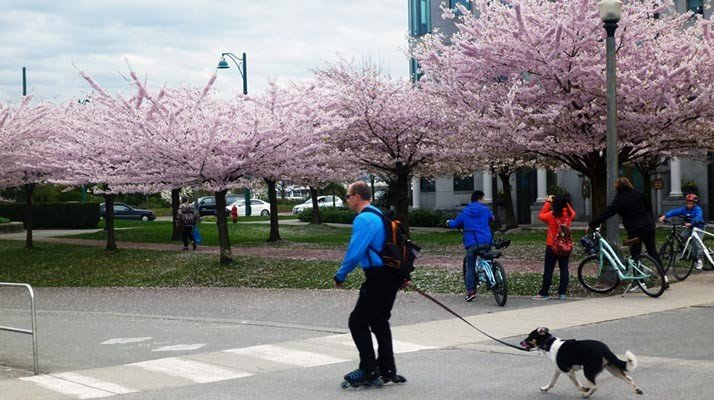 Cherry blossom trees in bloom in Stanley Park. Seaside Bike Route Vancouver