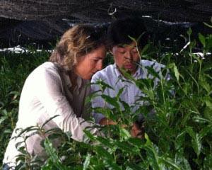 CEO of My Matcha Life, Calli O'Brien - an internationally recognized Matcha tea expert