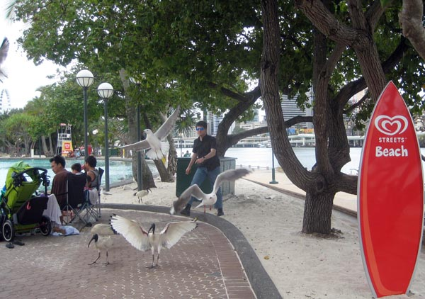 We saw beautiful Australian White Ibis at Streets Beach in Brisbane
