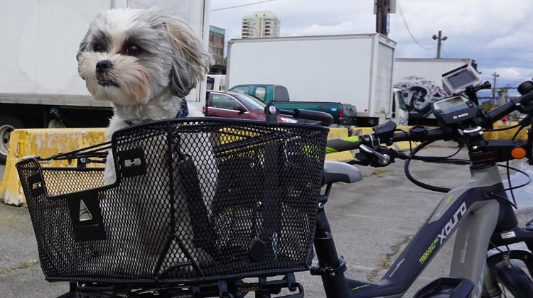 Ripley in her Axiom Dual Function Premium Pet Basket. She loves it because she can see clearly in all directions!. How to Carry your Dog Safely on Your Bike in a Pet Basket