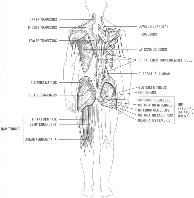 Posterior core muscles. Picture from Tom Danielson's excellent book, Core Advantage. 10 Minute Core Workout for Cyclists