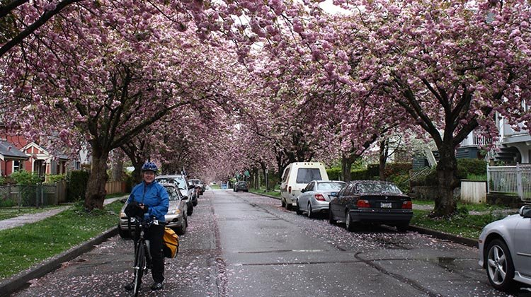 Mrs. Average Joe Cyclist (aka Maggie) at a Vancouver Bike the Blossoms Ride