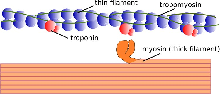 """There are two components of a muscle: extrafusal and intrafusal fibres. Within the protein strands of extrafusal fibres, the contractile elements of a muscle are composed of units called myofilaments. Within these filaments there are thick and thin """"strands"""" of smaller protein chains. why stretching is important for cyclists"""