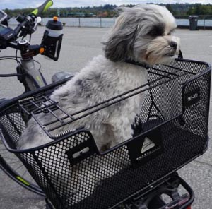 Notice how the spring-loaded cover of the Axiom Premium dog bike basket fits snugly over Ripley, keeping her secure and making her FEEL secure. 5 of the Best, Safe Dog Bike Baskets - Front, Rear, and Trailer