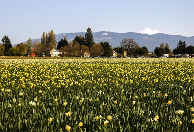 6 Can't-Miss Places to Ride Your Bike in Washington. The Daffodil Cruise – Orting, WA