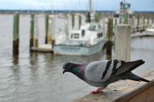 Pigeon on the dock at Saint Marys, Georgia